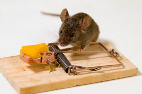 уничтожение крыс в Томске